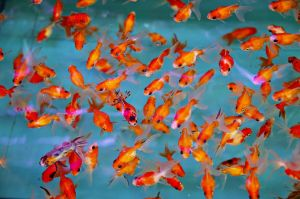 17 cards goldfish.jpg